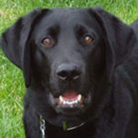 guide dog puppy raising manual