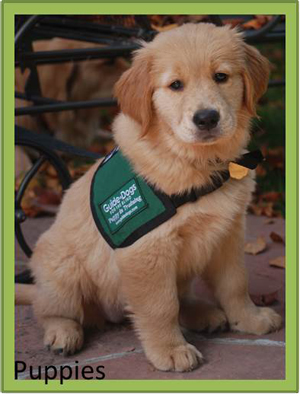 how to become a guide dog foster